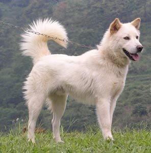 Kintamani chien rare 3